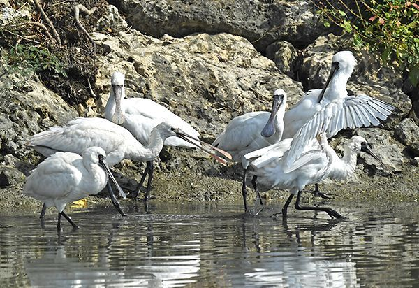 Black-faced spoonbill migrates to Okinawa for the winter