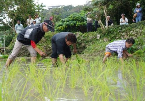 Nakandakari Ward holds ceremony to transplant young rice plants and pray for good harvest
