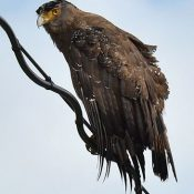 Okinawa Defense Bureau suspends construction as crested serpent eagle spotted building nest in area of planned JSDF deployment