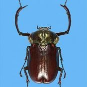 After numerous instances of poaching, Okinawa to close hiking trails in Kunigami at night starting August 26, in an effort to protect the Yanbaru long-armed scarab beetle
