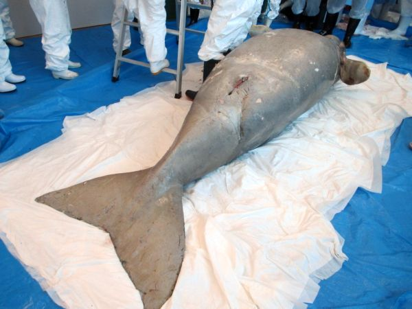 Dugong found in Nakijin ruled to have died from a stingray stinger, says the Ministry of the Environment, Okinawa, and Nakijin while announcing the results of their investigation