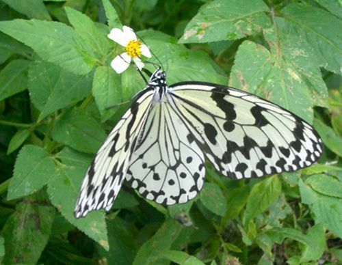 Tree Nymph butterfly selected as Okinawa prefectural butterfly