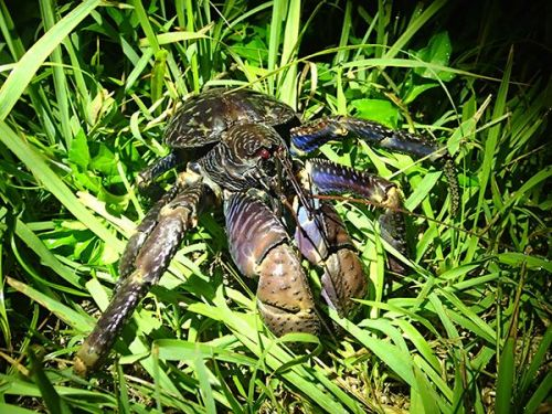 A loquacious crustacean? How the coconut crab produces sound
