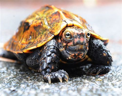 Sixty-four rare turtles, including the endangered Ryukyu black-breasted leaf turtle, stolen from Okinawa Zoo & Museum