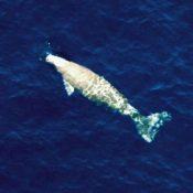 Dugong survey fails to confirm that dugong still inhabit ocean around Okinawa Island