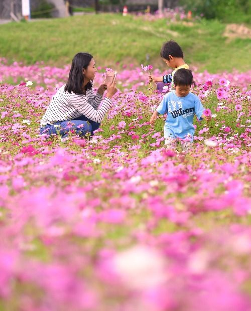 "In Okinawa, the Cosmos are in Full Bloom! ""I Came After Seeing it on Instagram"" Rice Fields in Igei, Kin"