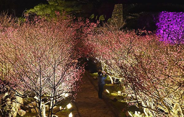 Nakijin Castle cherry blossoms create wondrous scene for Nakijin Castle Cherry Blossom Festival