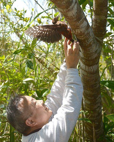 Injured Okinawa woodpecker returns to wild after three months of rehab