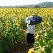 A Field Blanketed in Yellow Sunflowers in Full Bloom in Kumejima