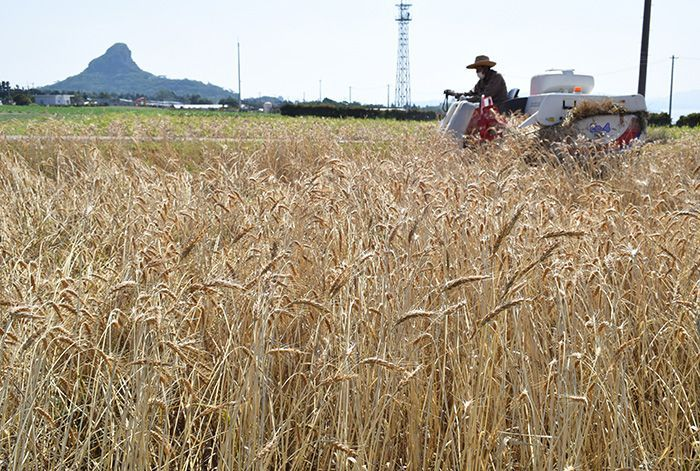 "Iejima experiences and early ""golden autumn"" and begins full-fledged wheat harvesting"