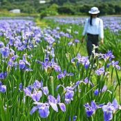 Fields of purple emerge in Ogimi Village