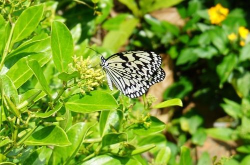 Tree Nymph Chosen as Okinawa's Prefectural Butterfly New Symbol Established for the First Time in 48 Years