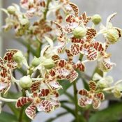 Mystical, endangered orchid blooms in Nago City