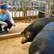 Nakijin Agu pigs may disappear and they need your help