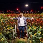 Sunflowers at night: chrysanthemum farmer grows 50,000 sunflowers as a secondary crop