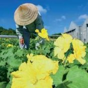 "Heatstroke risk rises to dangerous level with the summer sun coming out for ""Grain in Ear"" in Nago, Miyako, and Ishigaki"