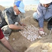 Sea turtles return to Onna Village to nest after two years