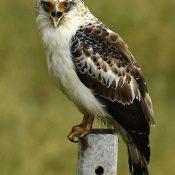 Nesting eagles halt JSDF base construction