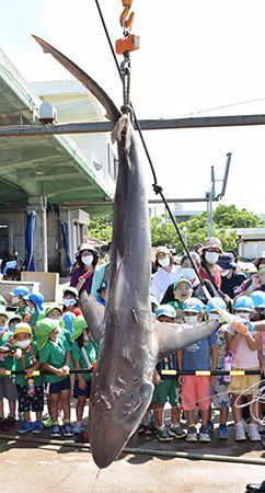 Fishing village exterminates 145 sharks in effort to prevent damage to fishing hauls July 18, 2020 Ryukyu Shimpo