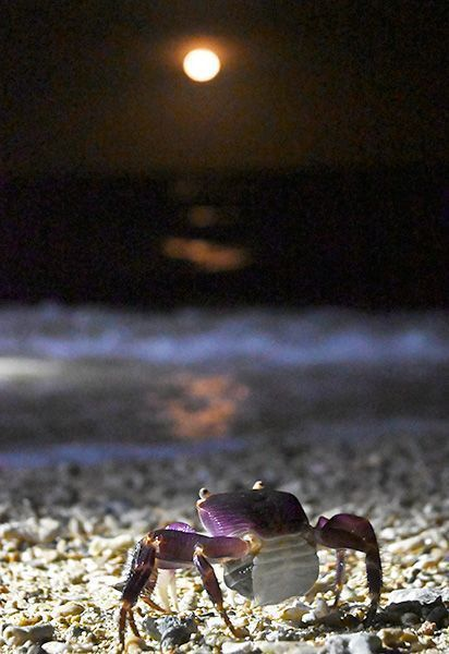 Crabs come out at night under the light of the moon to lay eggs on Miyagi Island