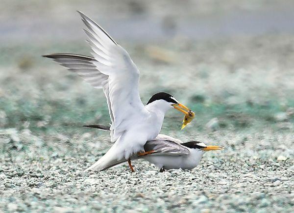 Little terns: Nurturing love in material storage area