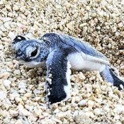 In Tarama, 30 green sea turtles hatch and make their way to the sea