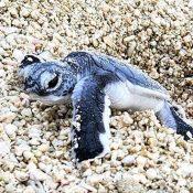 In Tarama, 30 green sea turtles hatch and make their way to the sea