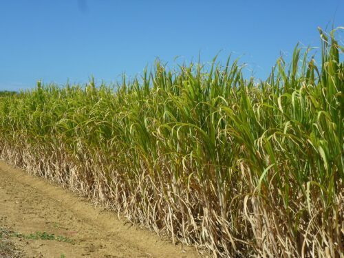 Hateruma-jima sugarcane crops affected by biggest draught in 40 years