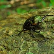 Protect the Yambaru Long-Armed Scarab Beetle: In three northern Okinawa villages, 30 people participate in patrol to prevent poaching