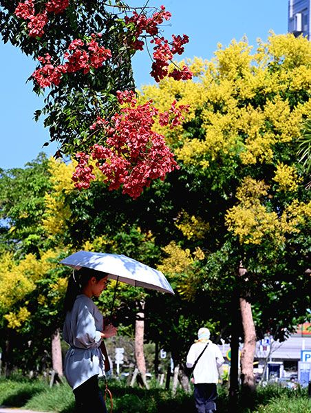 Yellow and pink decorate the streets as Taiwanese rain trees bloom in the clear autumn sky