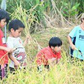 Nago kids harvest 20 kg of rice with sickles