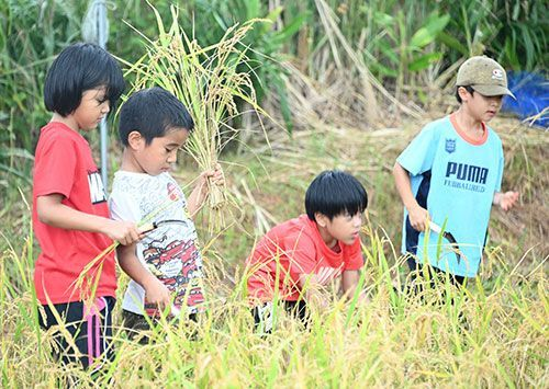 Nago kids harvest 20 kg of rice with sickles