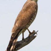 "Miyako's Sashiba migration survey reports 2,333 fewer birds than last year during ""kanro"""