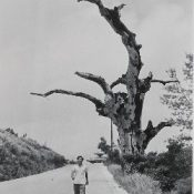 1960 photograph by Tokyo photographer Tsukamoto showing indominable Akagi tree ravaged by war added to Shuri Castle signboard