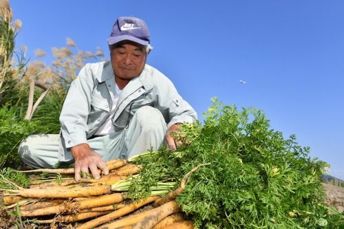The harvest of yellow island carrots begins under a blue sky in Nakagusuku Village