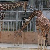 Giraffe calf born at Okinawa Zoo and Museum for first time in 14 years