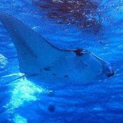 Giant manta ray congratulates newlyweds after cancelling honeymoon trip abroad