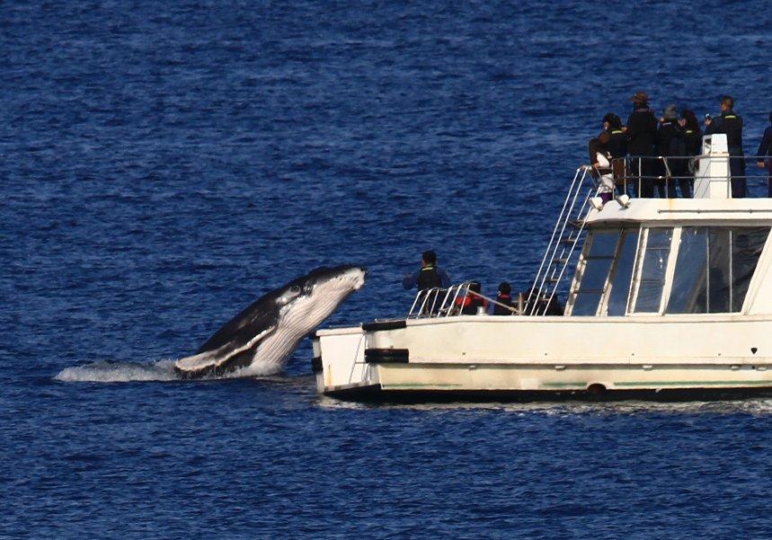 VIDEO: Incredible humpback whale jump in Miyagi, Chatan