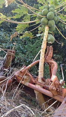 Gutsy papaya overcoming adversity: Tree trunk growing through gaps in machinery bears fruit