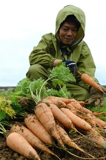 On Usui, Kyan's specialty vegetable reaches peak harvest
