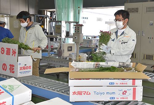 Okinawa chrysanthemums hit peak shipping period in lead up to Higan holiday, extra shipping flights also being scheduled