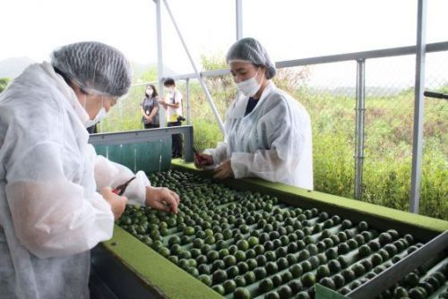 Hong Kong loves Okinawan Shikuwasa introduced on TV as a superfood; exports grow twentyfold