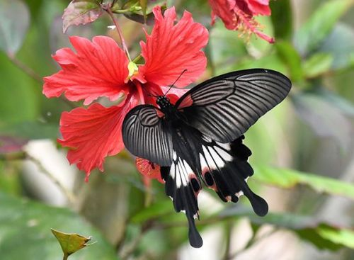 A rare alcanor form great Mormon butterfly, one of Japan's largest, spotted in Ogimi