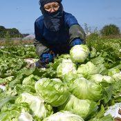 Under blue skies, the season for harvesting fresh lettuce arrives in Itoman City