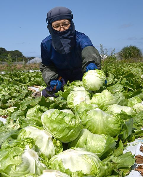 Under blue skies, the season for harvesting fresh lettuce arrives in Itoman City