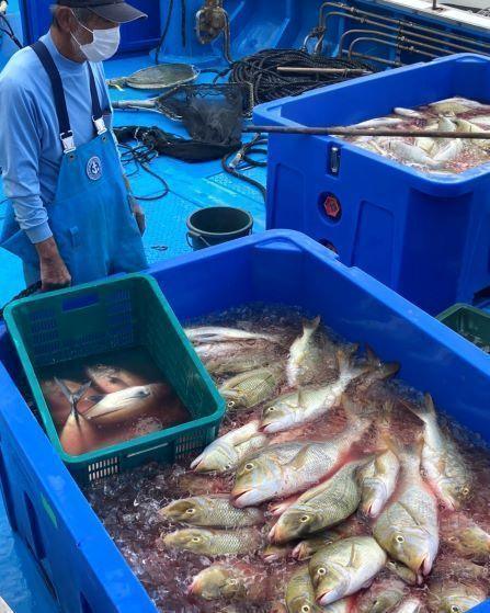 "A super-sized haul of high-class spangled emperor fish known as taman brought into Toya Fishing Port in Yomitan, ""It will be tasty any way you cook it"""