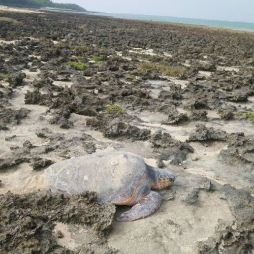 Enormous sea turtle stranded rescued by 20 people, including locals, the Turtle Hermit, police, and aquarium employees