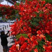 Red flower petals decorate the rainy season street corner for Shoman
