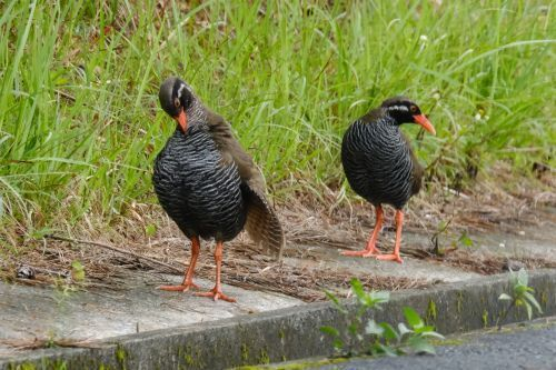 Pair of Yambaru-Kuina photographed in recommended World Heritage Site, Kunigami