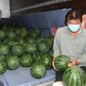 "Nakijin Watermelon announces a ""banner year"" with a strong harvest of their sweet fruit"